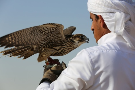 Falcon shereen